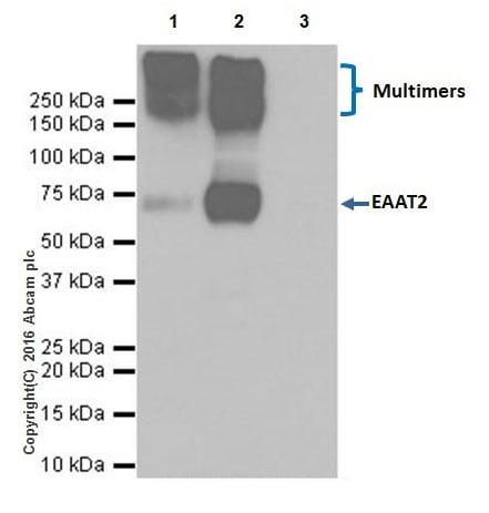 Immunoprecipitation - Anti-EAAT2 antibody [EPR19798] (ab205248)