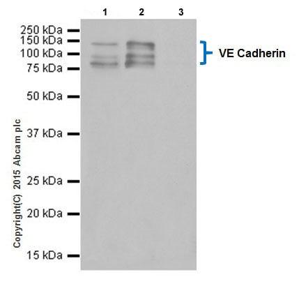 Immunoprecipitation - Anti-VE Cadherin antibody [EPR18229] (ab205336)