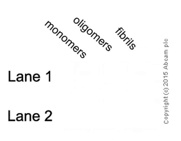 Dot Blot - Anti-Amyloid Fibril antibody [mOC78] - Conformation-Specific (ab205341)