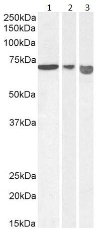 Western blot - Anti-AIF antibody - C-terminal (ab205370)