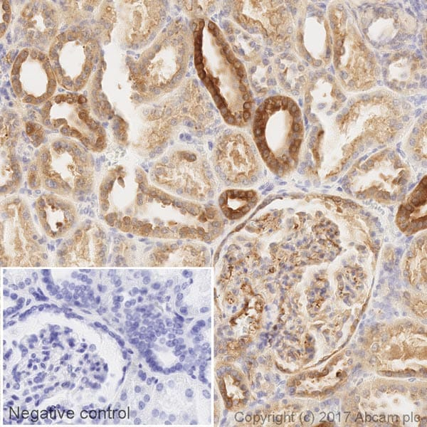 Immunohistochemistry (Formalin/PFA-fixed paraffin-embedded sections) - Anti-PKC alpha antibody [Y124] (HRP) (ab205422)