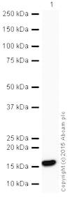 Western blot - HRP Anti-MAP1LC3A antibody [EP1528Y] (ab205439)