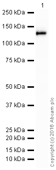 Western blot - Anti-Integrin alpha V antibody [EPR16800] (HRP) (ab205474)
