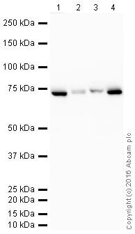Western blot - HRP Anti-Hsp70 antibody [EPR16892] (ab205485)