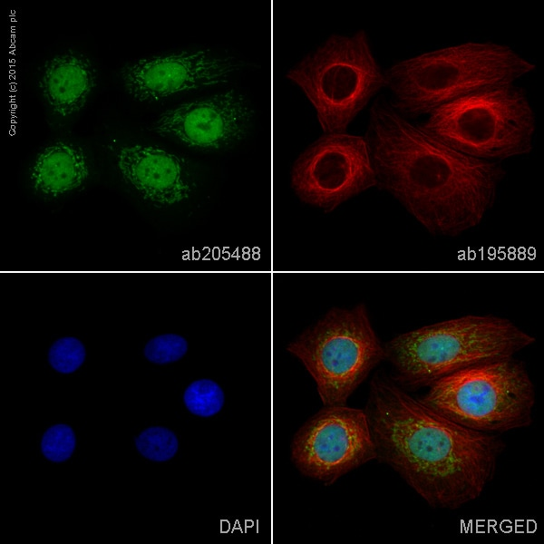 Immunocytochemistry/ Immunofluorescence - Alexa Fluor® 488 Anti-SMYD3 antibody [EPR11107(2)] (ab205488)