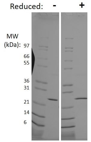 SDS-PAGE - Recombinant human FGF8 protein (Animal Free) (ab205519)
