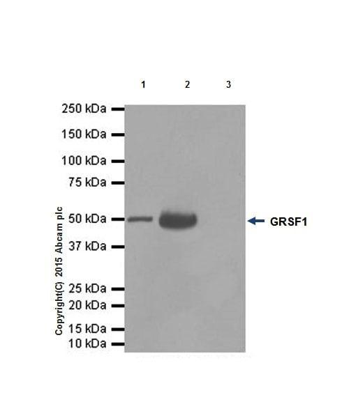 Immunoprecipitation - Anti-GRSF1 antibody [EPR16678] (ab205531)