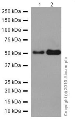 Western blot - Anti-GRSF1 antibody [EPR16678] (ab205531)
