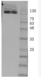 Western blot - Anti-Ret antibody - Extracellular domain (ab205557)