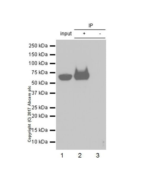 Immunoprecipitation - Anti-DDDDK tag (Binds to FLAG® tag sequence) antibody [EPR20018-251] (ab205606)