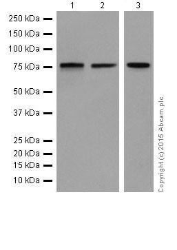 Western blot - Anti-HTF9C/TRMT2A antibody [EPR16485-54] (ab205616)