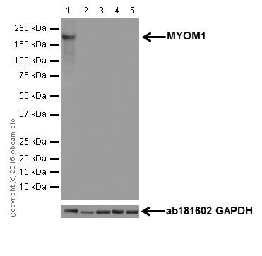 Western blot - Anti-MYOM1 antibody [EPR17322-9] (ab205618)