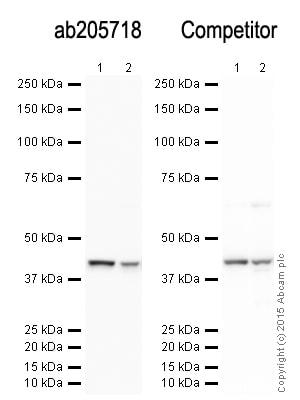 免疫印迹-山羊抗兔IgG H&L(HRP)(ab205718)