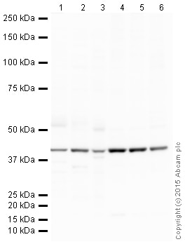 Western blot - Goat Anti-Mouse IgG H&L (HRP) (ab205719)