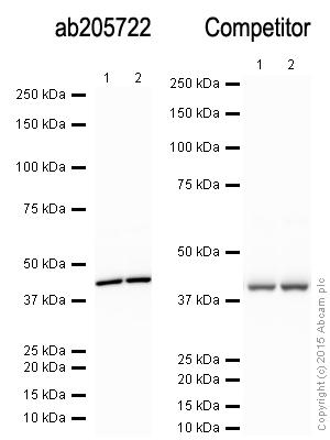 Western blot - Donkey Anti-Rabbit IgG H&L (HRP) (ab205722)