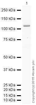 Western blot - Anti-GPCR LGR6 antibody [EPR6874] (HRP) (ab205760)