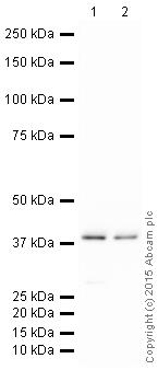 Western blot - HRP Anti-GNAI2 antibody [EPR9469] (ab205782)
