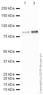 Western blot - Anti-PKC alpha + beta + gamma antibody [EPR16898] (HRP) (ab205791)