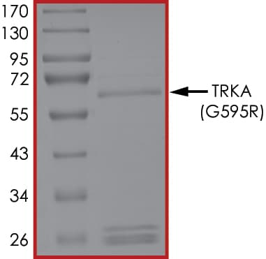 SDS-PAGE - Recombinant human TrkA protein (ab205799)