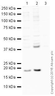 Western blot - Anti-Bax antibody [E63] (HRP) (ab205822)