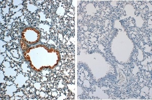 Immunohistochemistry (Formalin/PFA-fixed paraffin-embedded sections) - Anti-IL-1 beta antibody (ab205924)