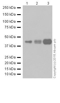 Western blot - Anti-RCN1/RCN antibody [EPR17162] (ab205927)