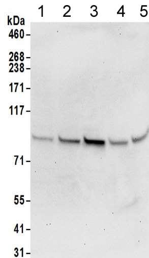 Western blot - Anti-TMEM24 antibody (ab205949)