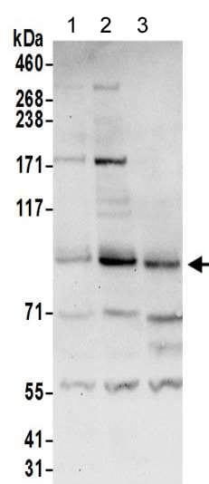 Western blot - Anti-RanBP9 antibody (ab205954)