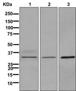 Western blot - Anti-RRAD antibody [EPR12856] - BSA and Azide free (ab205977)