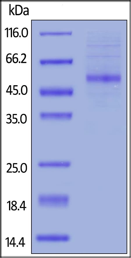 SDS-PAGE - Recombinant human OX40L/TNFSF4 protein (Fc Chimera Active) (ab206011)