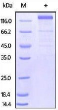 SDS-PAGE - Recombinant Cytomegalovirus Glycoprotein B (Fc Chimera) (ab206020)