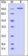 SDS-PAGE - Recombinant mouse LDL Receptor protein (ab206024)