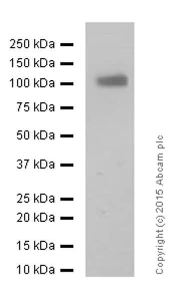 Western blot - Anti-CD166 antibody [EPR2759(2)] - BSA and Azide free (ab206127)