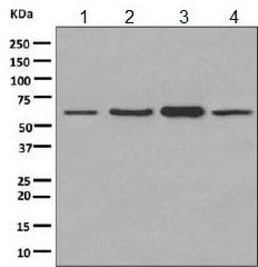 Western blot - Anti-PKM antibody [EPR10139] - BSA and Azide free (ab206130)