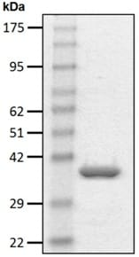 SDS-PAGE - Recombinant human PSME3 protein (ab206156)