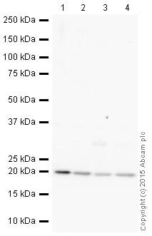 Western blot - HRP Anti-Glutathione Peroxidase 4 antibody [EPNCIR144] (ab206266)