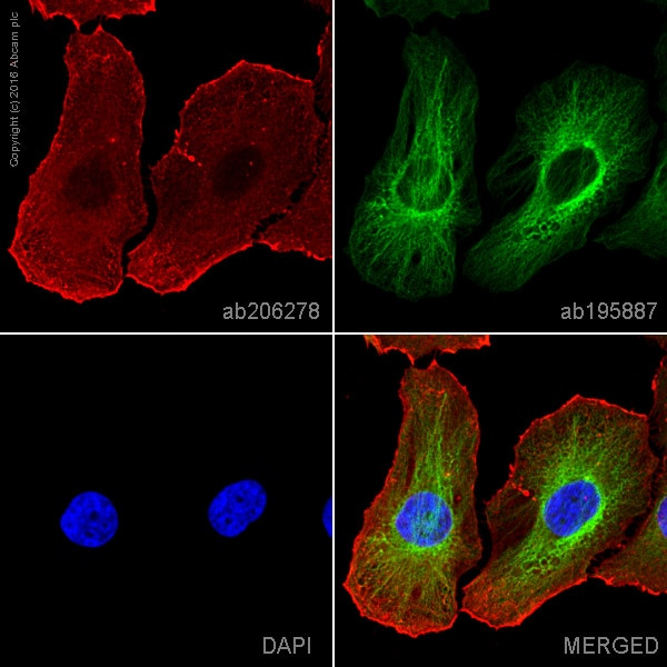 Immunocytochemistry/ Immunofluorescence - Anti-Actin antibody [EPR16769] (Alexa Fluor® 647) (ab206278)