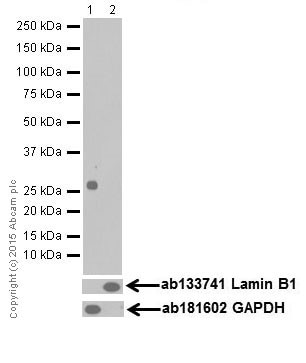 Western blot - Anti-14-3-3 eta/YWHAH antibody [EPR16750] (ab206292)
