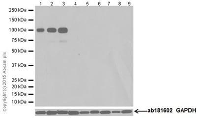 Western blot - Anti-Ionotropic Glutamate receptor 2 antibody [EPR18115] (ab206293)