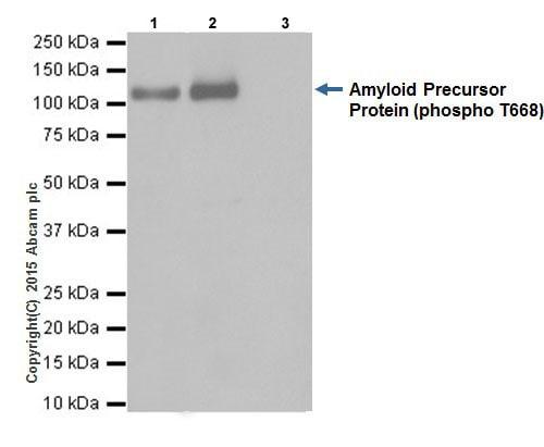 Immunoprecipitation - Anti-Amyloid Precursor Protein (phospho T743) antibody [EPR7074(N)] (ab206297)