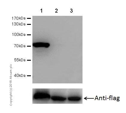 Western blot - Anti-PDPK1 (phospho S393) antibody [EPR19818] (ab206340)