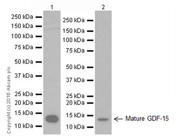 Western blot - Anti-GDF15 antibody [EPR19939] (ab206414)
