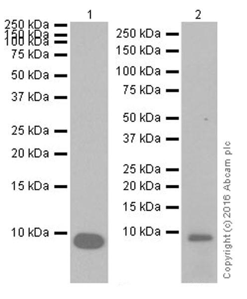 Western blot - Anti-EGF antibody [EPR19899] (ab206423)
