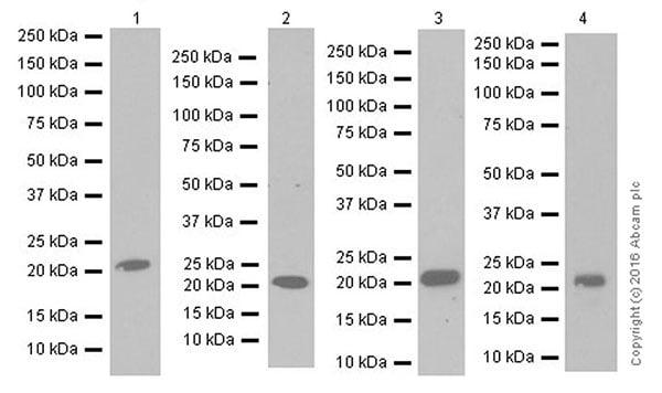 Western blot - Anti-Lipocalin-2 / NGAL antibody [EPR19912] (ab206427)