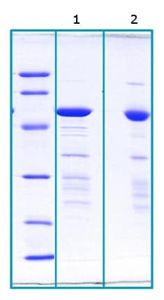 SDS-PAGE - Recombinant Human FKBP51 protein (His tag) (ab206440)