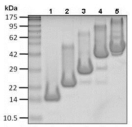 SDS-PAGE - Recombinant Human Hexa-ubiquitin  (linkage-specific K63) protein (ab206443)