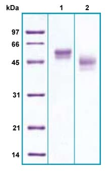 SDS-PAGE - Recombinant Human RAGE protein (ab206455)