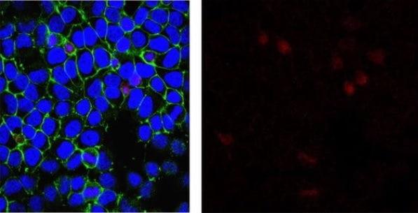 Immunocytochemistry/ Immunofluorescence - Anti-Oxoguanine 8 antibody [2Q2311] (ab206461)