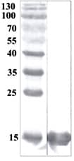 Western blot - Recombinant human CDNF protein (ab206463)