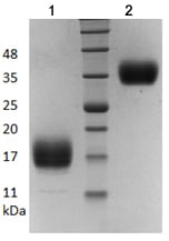 SDS-PAGE - Recombinant human Artemin protein (ab206465)